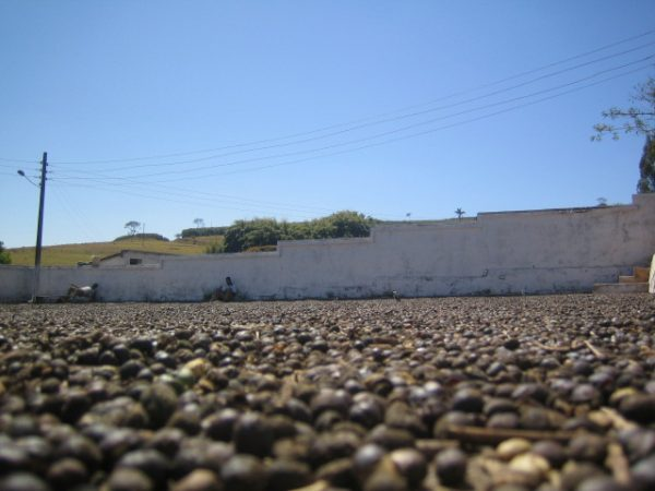 ブラジル サント・アントニオでコーヒーチェリーを乾燥している光景です。