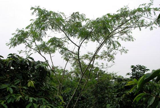 id doloksanggul - tree