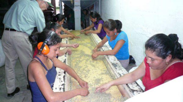 Guatemal Nueva Granada - Hand Picking