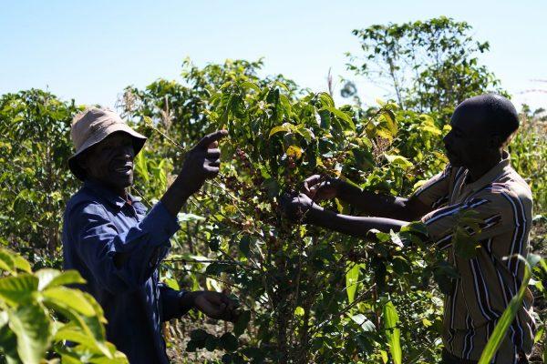 タンザニア ムリバ 収穫風景