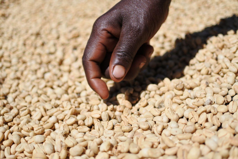 タンザニア タリメ 乾燥工程