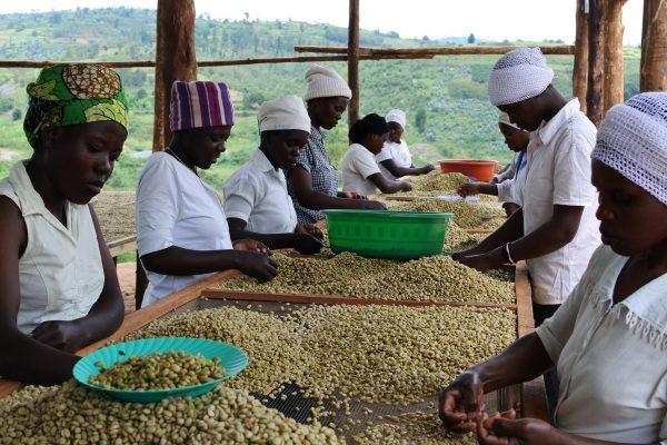 ルワンダ スカイヒル コーヒー豆のハンドピック