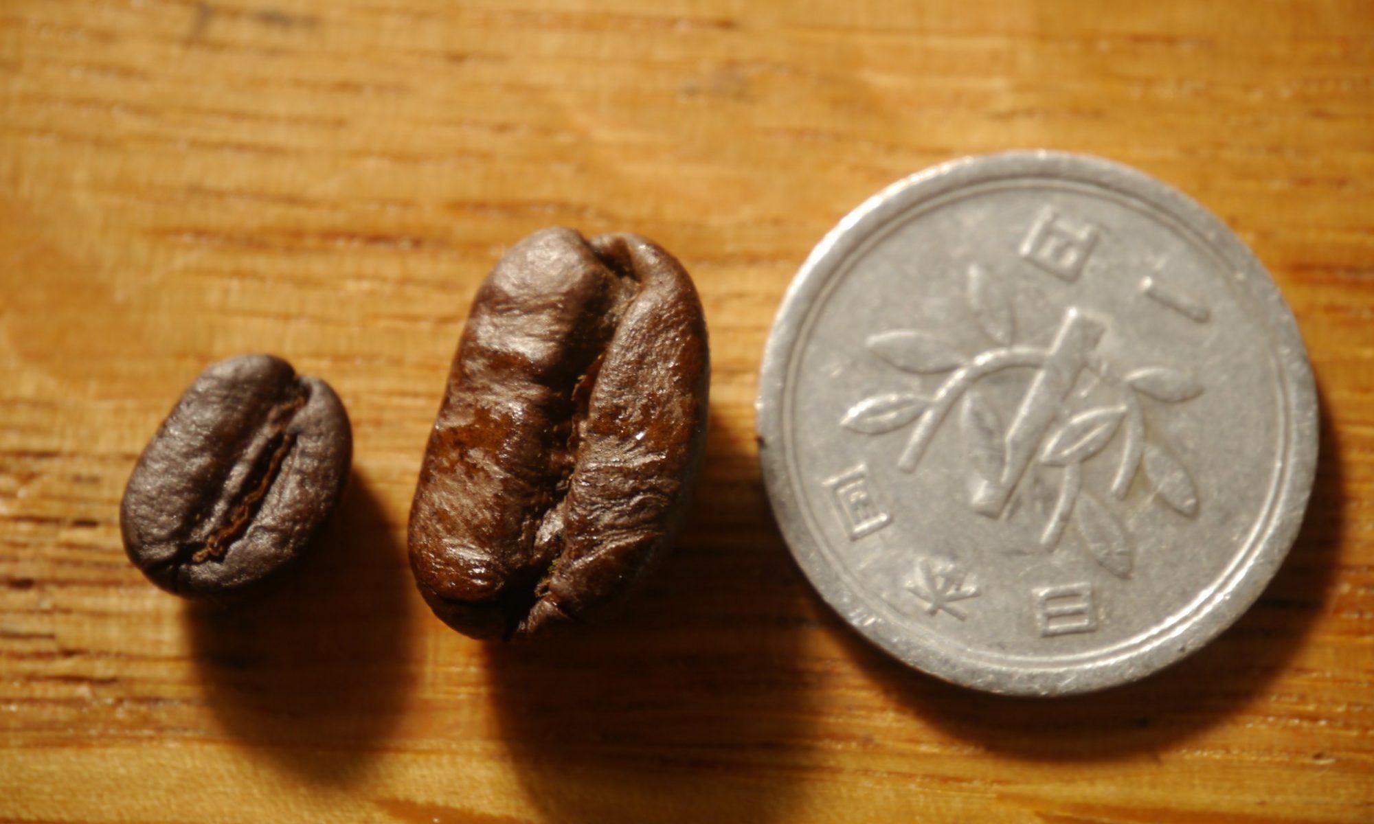 パカマラ種の巨大なコーヒー豆