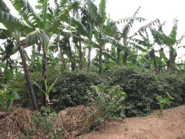 タンザニア ディープブルー 農園風景