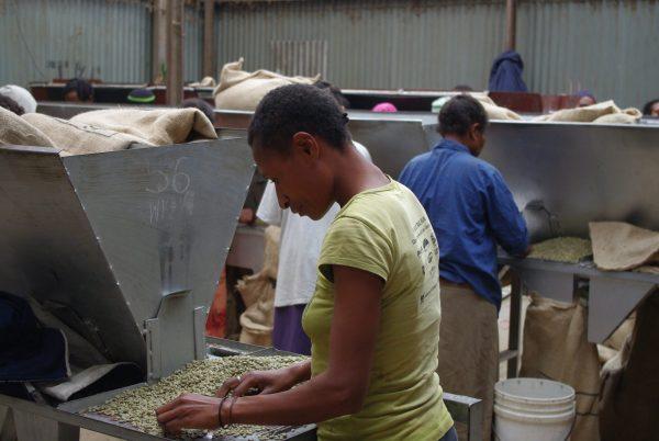 パプアニューギニア コーヒー豆 選別工程