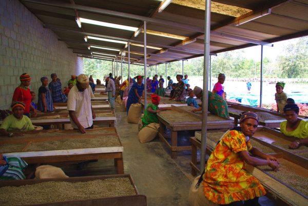 パプアニューギニアでのコーヒー豆のハンドピック作業