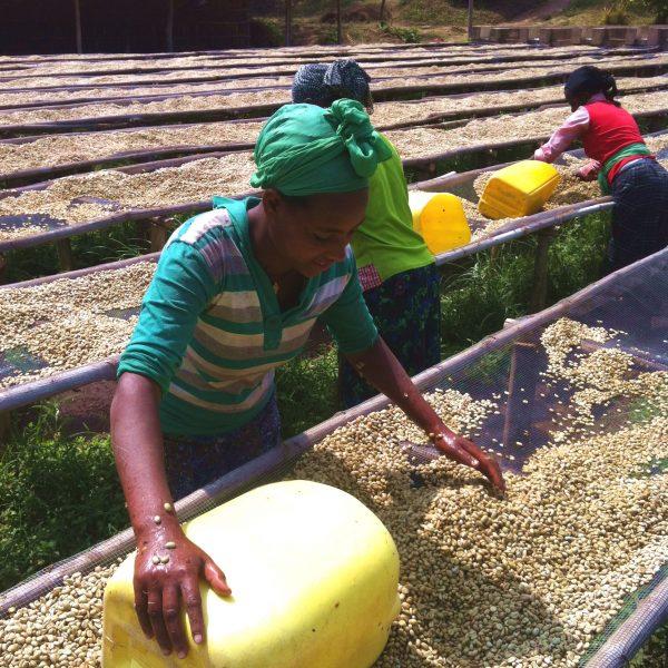 エチオピア イルガフェフェ ウォッシュト 乾燥工程