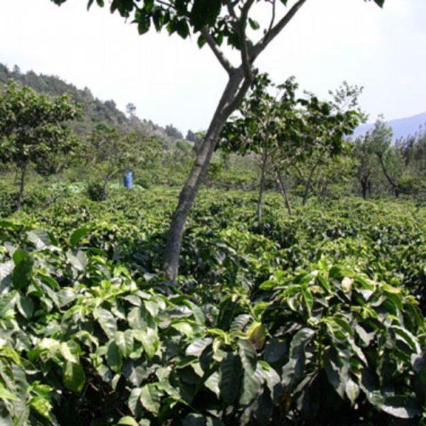 グアテマラ アルト・デ・メディナ農園 コーヒーファーム