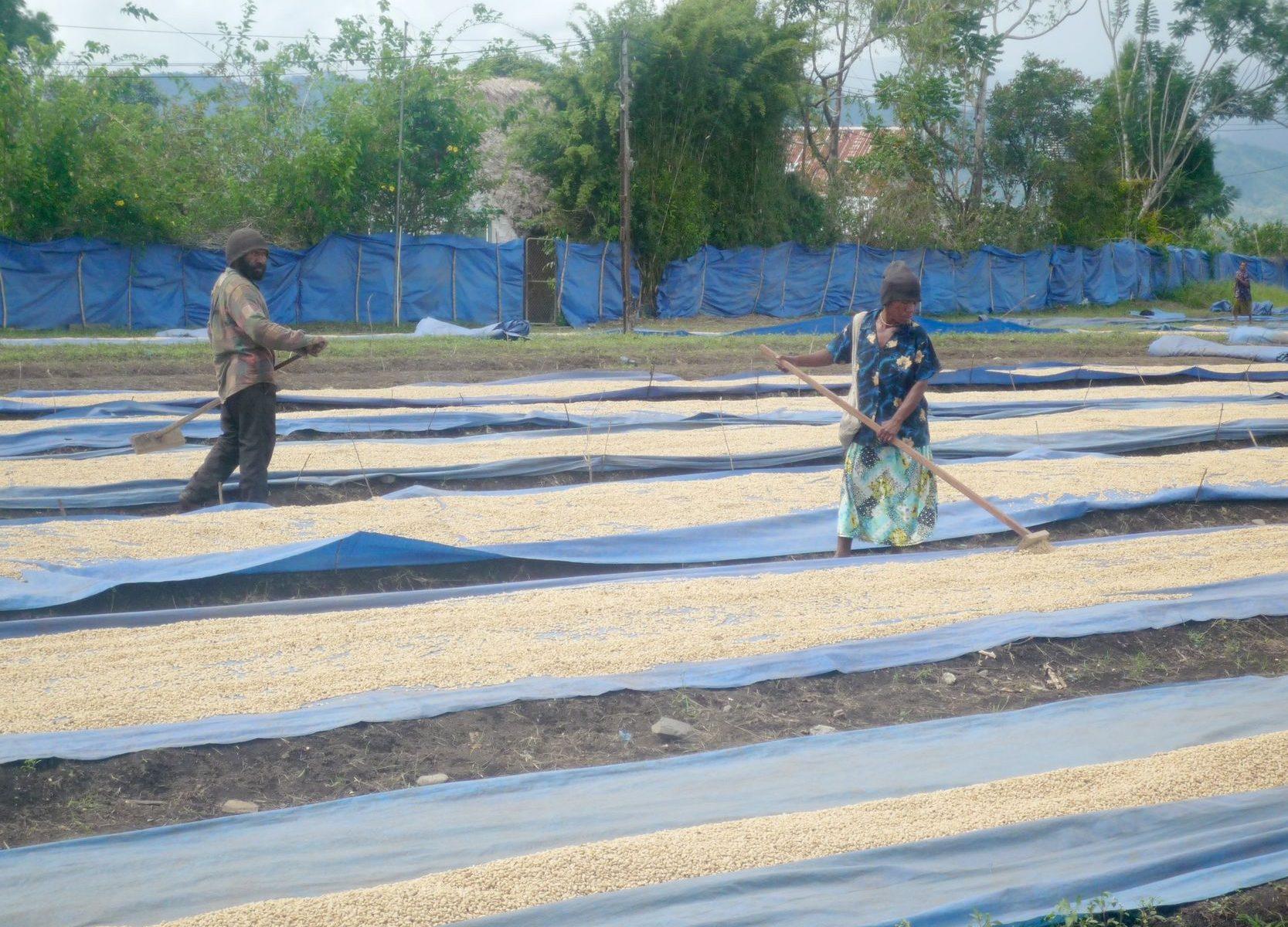 パプアニューギニア ハイランドスイート 乾燥工程