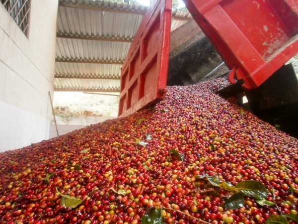 colombia huila coffee cherries
