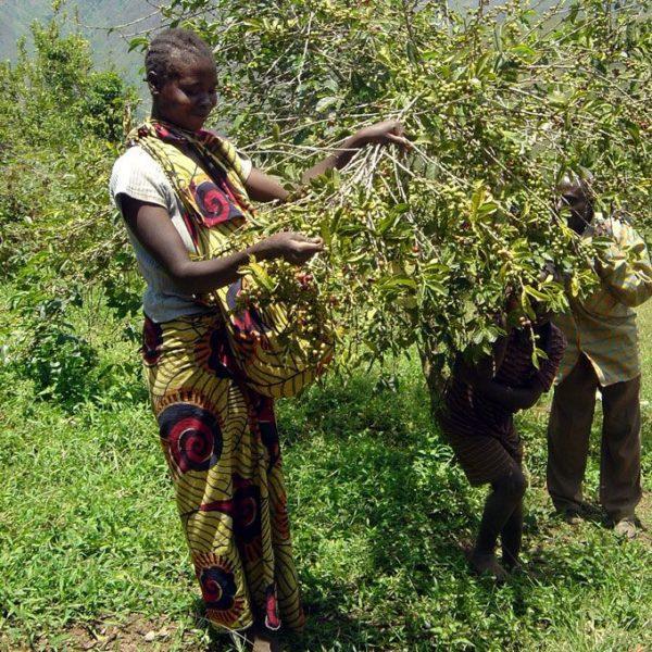 DRC カバレ - 収穫ガール