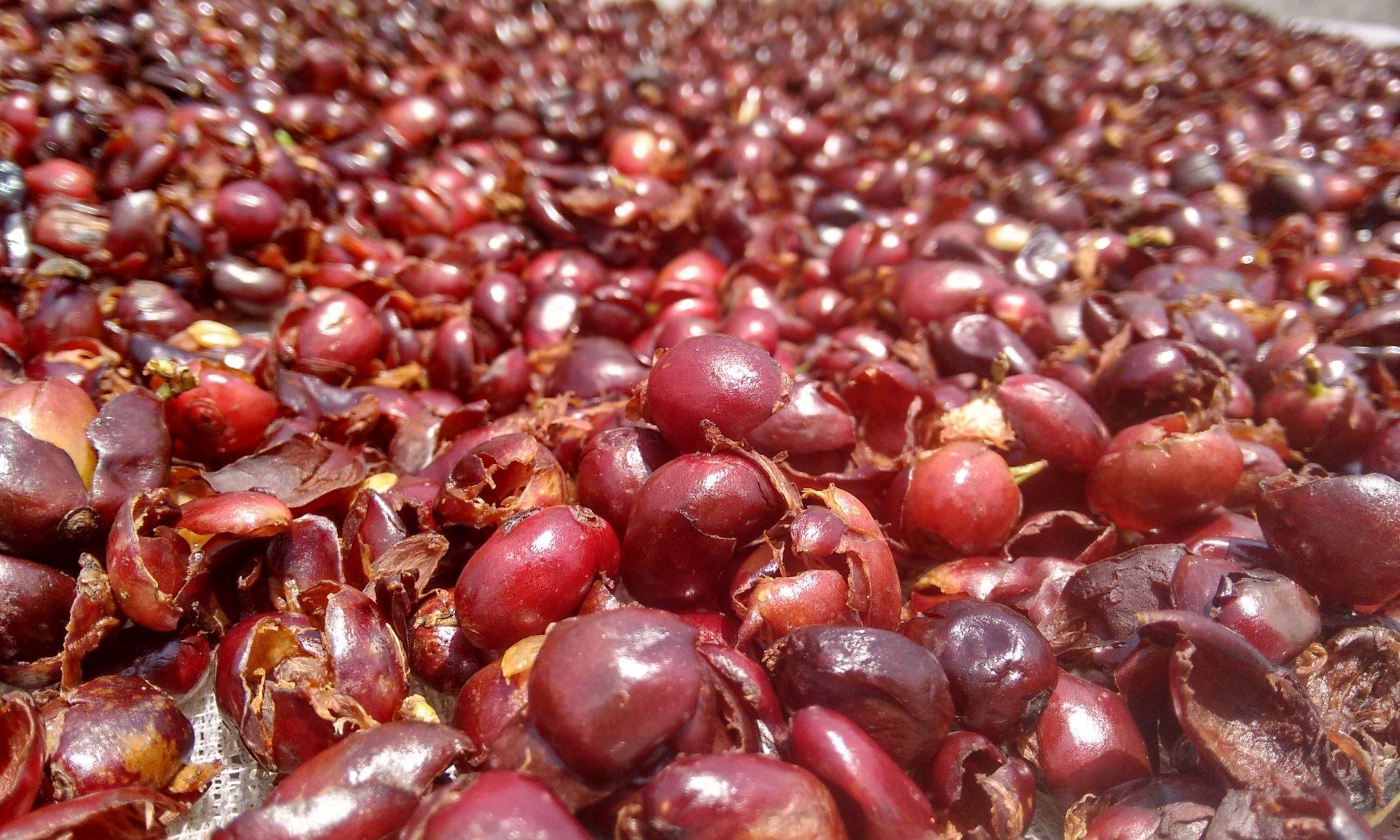 乾燥直後のコーヒーチェリー