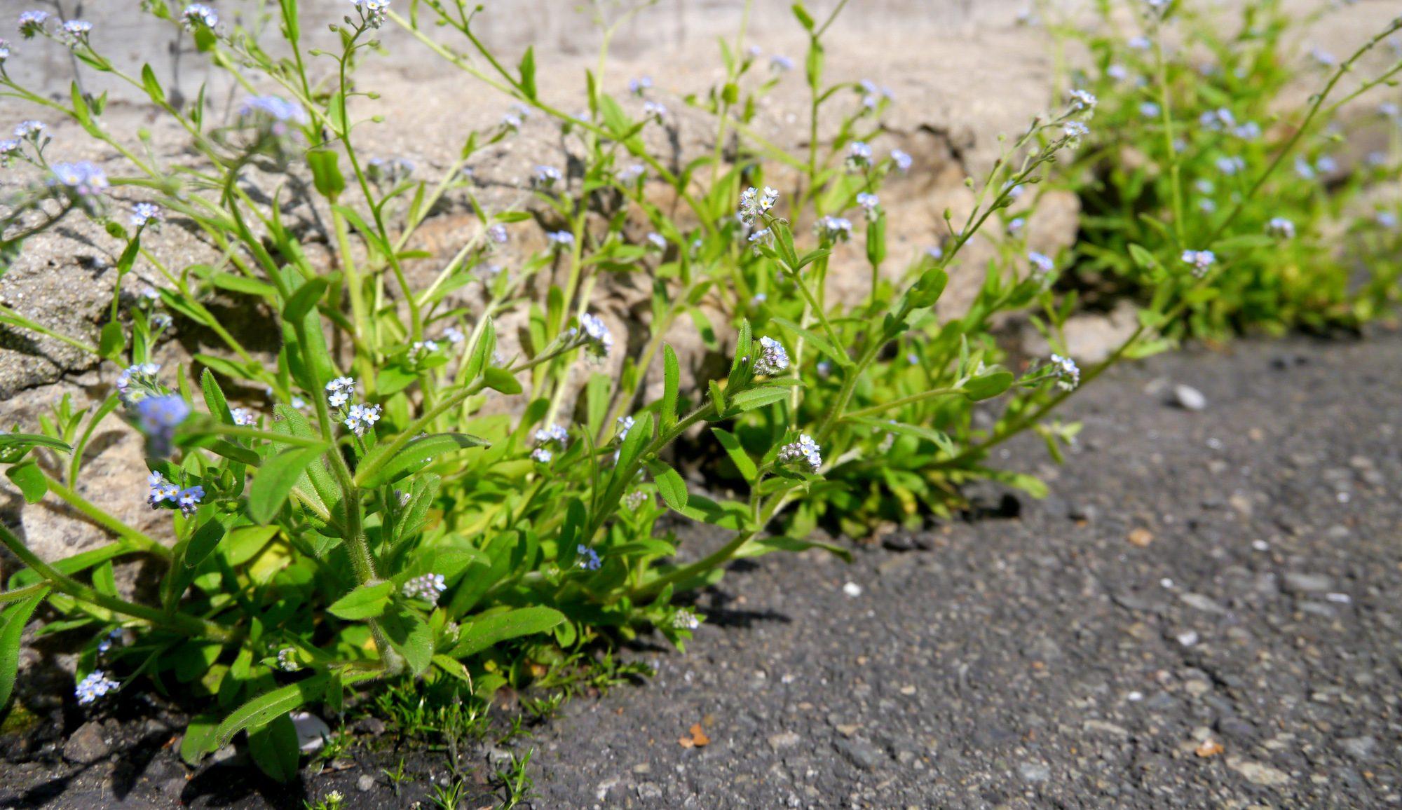 アスファルトに咲く忘れな草