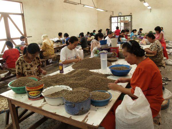 インドネシア マンデリン スマトラタイガー ハンドピック作業