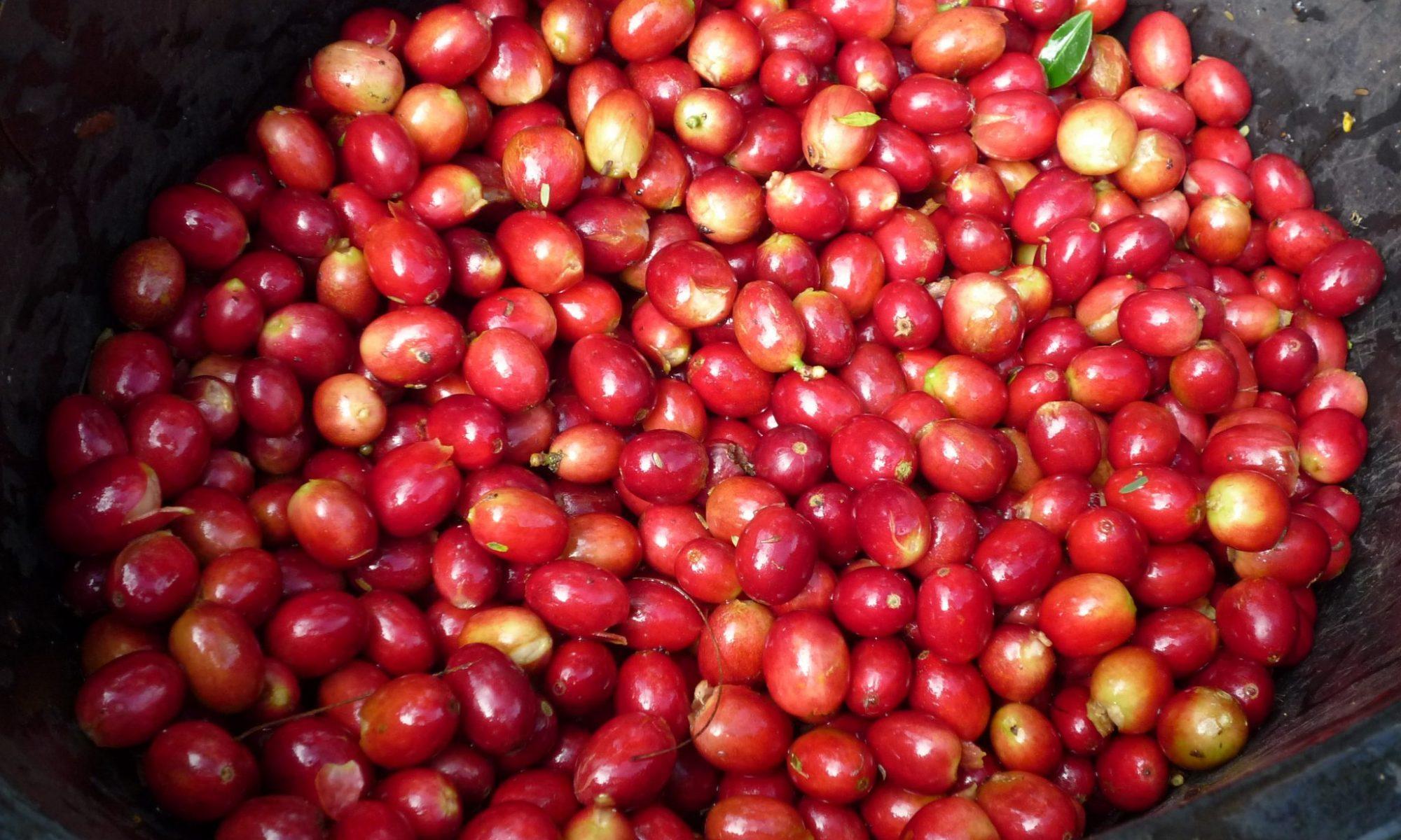 インドネシア コーヒーチェリー