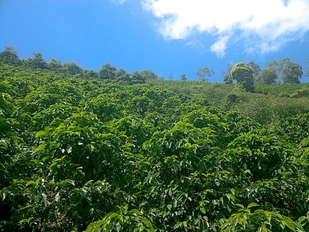 コロンビア ウィラ県 コーヒー農園