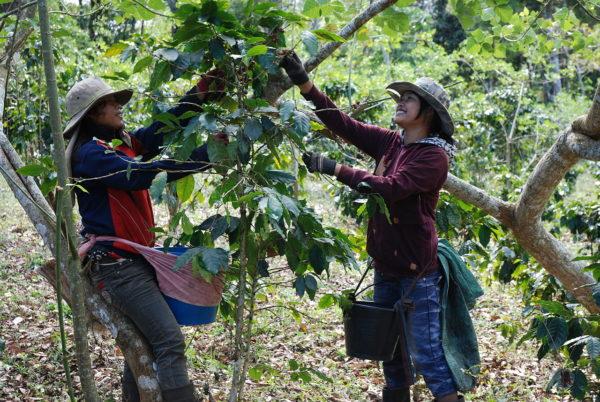 ラオスでのコーヒー収穫