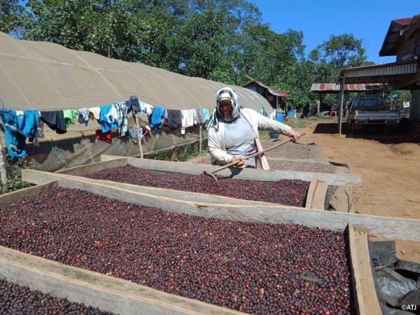 ラオス コーヒー豆 ナチュラル乾燥工程