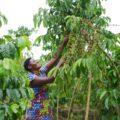 Rwanda GMAC Coffee Picker