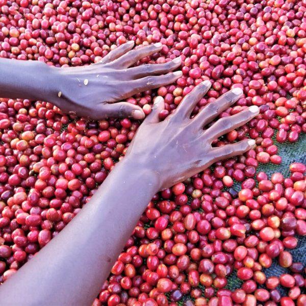 ルワンダ コーヒーチェリー