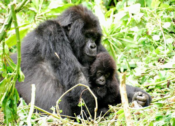 ルワンダのマウンテンゴリラの親子