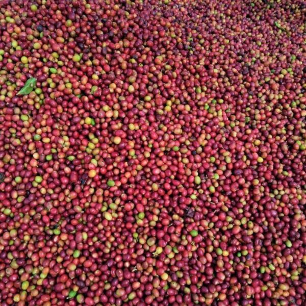 Indonesia Mandheling Dolok Sanggul - coffee cherries