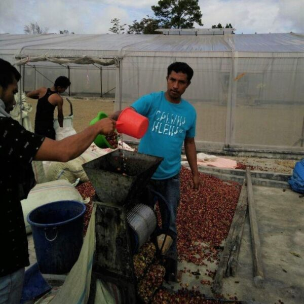 Indonesia Mandheling Dolok Sanggul - pulping coffee cherries
