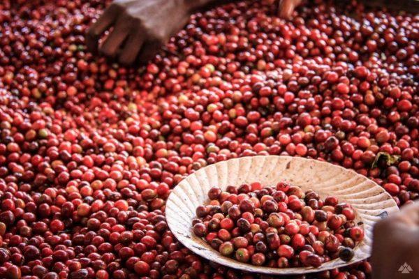 ケニア - コーヒーチェリー